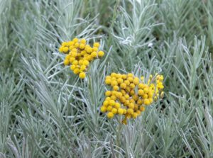 curry plant Helichrysum italicum curry kruid afbeelding
